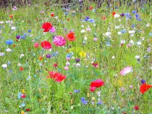Мавританский цветущий газон на приусадебном участке